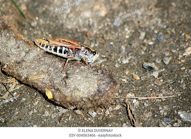 Grasshopper on the ground