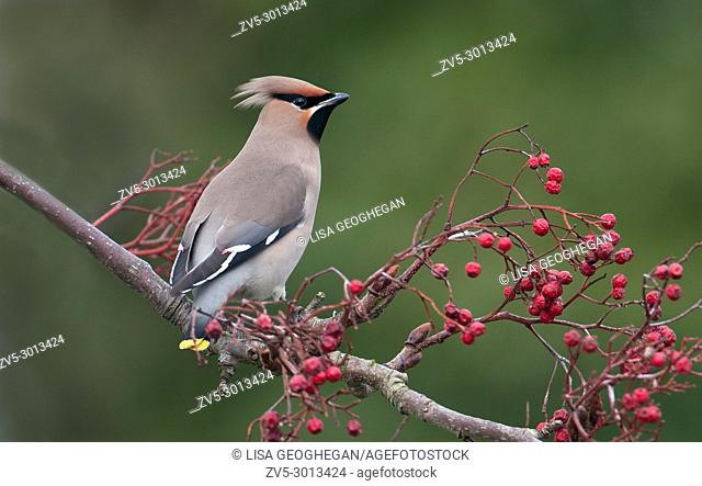 Bohemian Waxwing-Bombycilla garrulus perched on Cotoneaster Berries. Winter. Uk