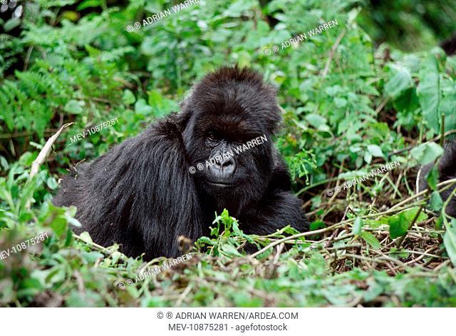 Ape: Mountain Gorilla - female Poppy (Gorilla gorilla beringei). Virunga Volcanoes, Rwanda, Africa