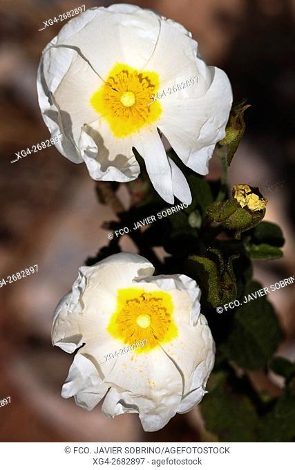 Jaguarzo morisco(Cistus Salvifolius) en el Parque Natural del Desierto de Las Palmas - Benicàssim - Plana Alta - Castellón - Comunidad Valenciana - España -...