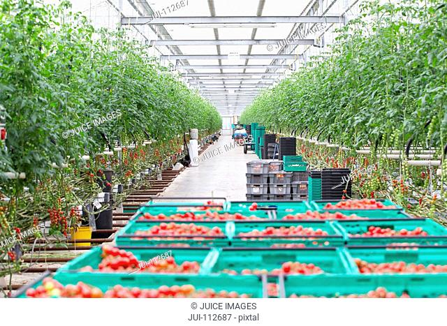 Tomato plants and ripe red vine tomatoes in crates in greenhouse