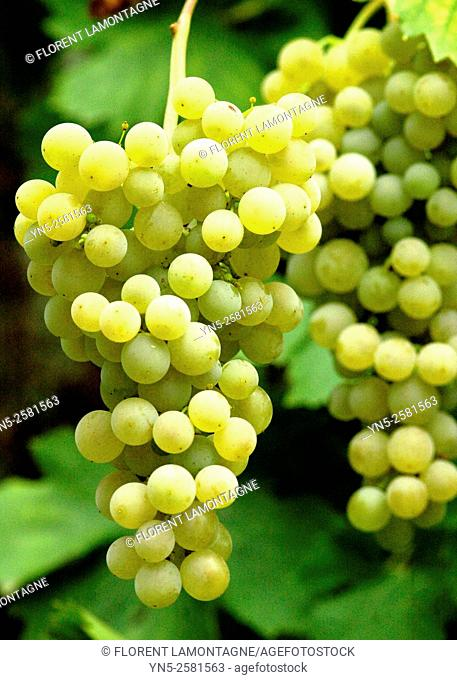 Bunch of yellow grape 'Ampelia Perdin'