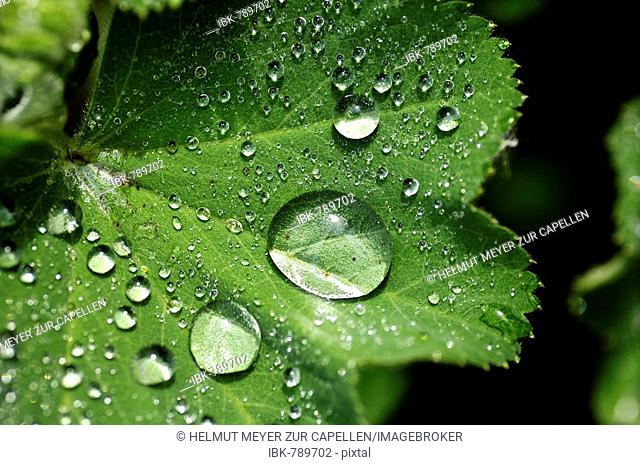 Water drops, droplets formed on a Lady's Mantle leaf (Alchemilla vulgaris)