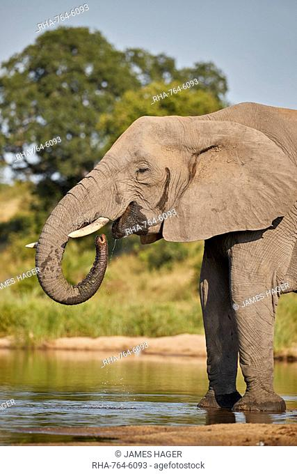 African Elephant (Loxodonta africana) drinking, Kruger National Park, South Africa, Africa