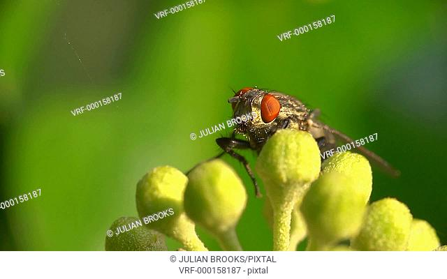 Extreme close up of a flesh fly resting on an ivy flower