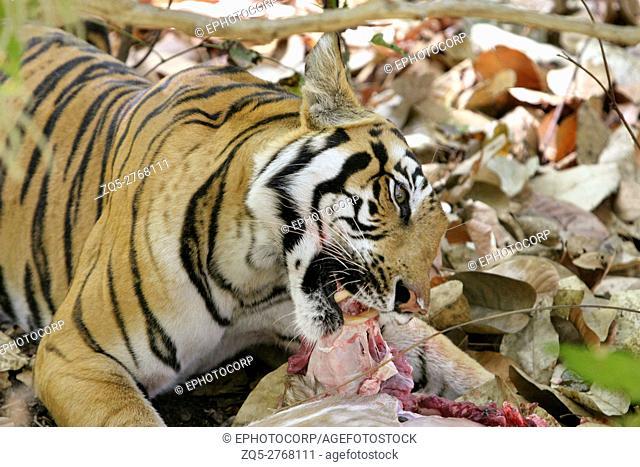 Female tiger, Panthera tigeris, eating spotted deer Kanha National Park, Madhya Pradesh, India