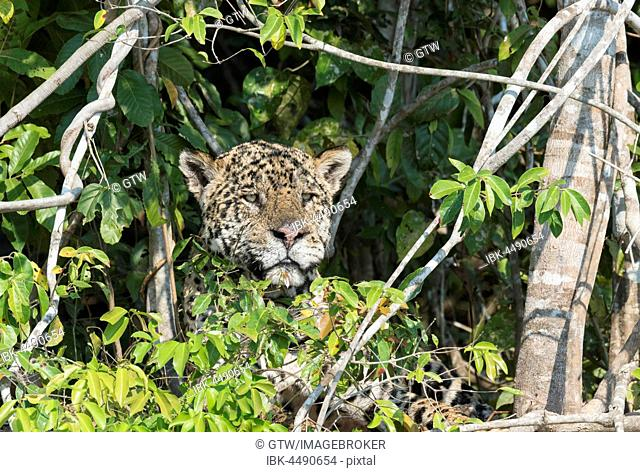 Male Jaguar (Panthera onca) hidden on a riverbank, Cuiaba river, Pantanal, Mato Grosso, Brazil