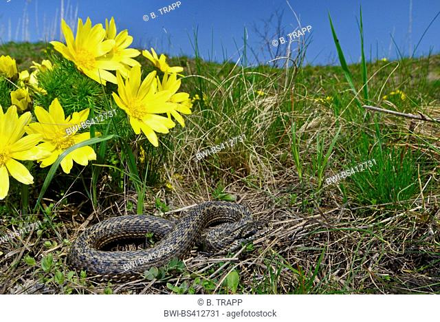 meadow viper, Orsini's viper (Vipera ursinii), rare meadow viper in the Romanian steppe with spring pheasant's eye, Romania, Moldau, Iași