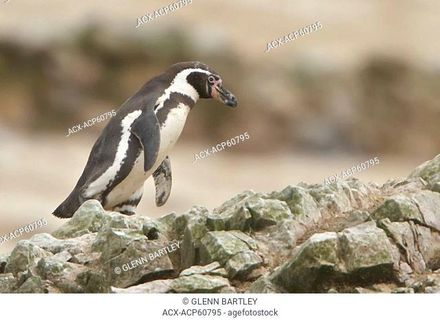 Humboldt Penguin Spheniscus humboldti perched on a rock in Peru