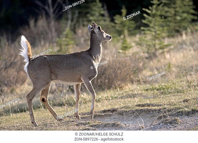 Weisswedelhirsch mit Bastgeweih und aufgerichtetem Wedel - (Virginiahirsch) / White-tailed Deer stag with velvet-covered antler and erecting scut - (Virginia...
