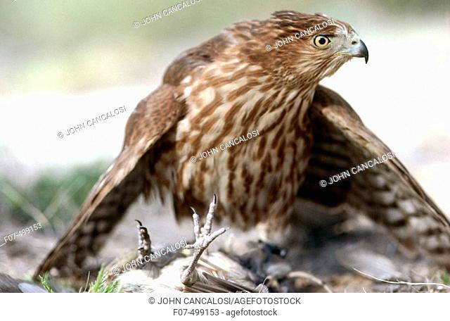 Cooper's Hawk (Accipiter cooperii). Arizona, USA