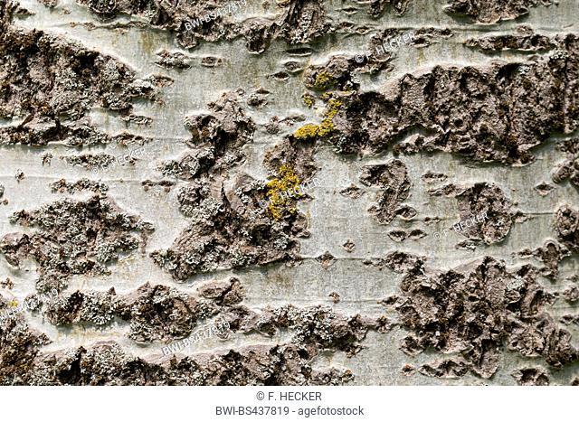 white poplar, silver-leaved poplar, abele (Populus alba), bark, Germany