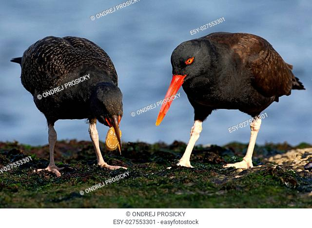 Two black bird with red bill. Blakish oystercatcher