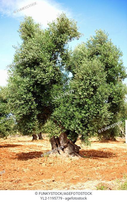 Ancient Cerignola olive trees of Ostuni, Puglia, South Italy