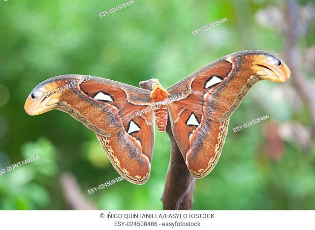 beautiful tropical orange, brown and white moth butterfly named Attacus Atlas, from Saturniidae family, also known as Atlas moth, in branch plant