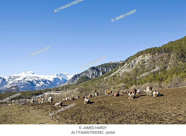 Cattle in field, snow-capped mountains in background