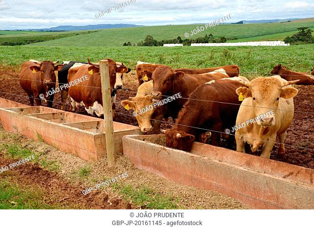 Crossbred Cattle feeding in the trough in the countryside, Tibagi, Paraná, Brazil 12.2014