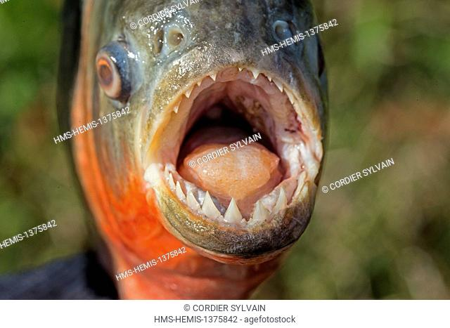 Brazil, Amazonas state, Amazon river basin, along Rio Negro, Red-bellied piranha or red piranha (Pygocentrus nattereri)