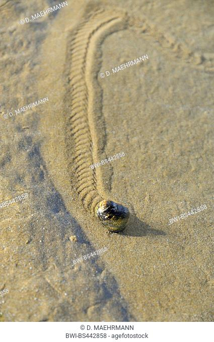 winkles, periwinkles (Littorinidae), trace at the sandy beach, France, Betragne, Erquy