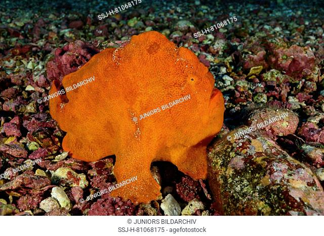 Red Giant Frogfish, (Antennarius commersoni) on the sea floor. Cocos Island, Costa Rica, Pacific Ocean