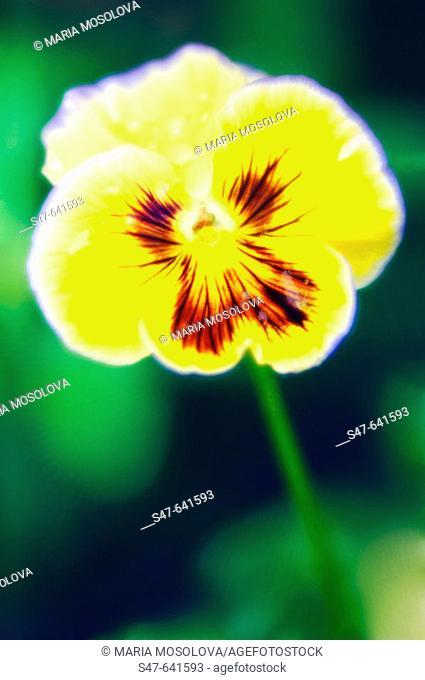 Yellow Pansy. Viola x wittrockiana. June  2006. Maryland, USA