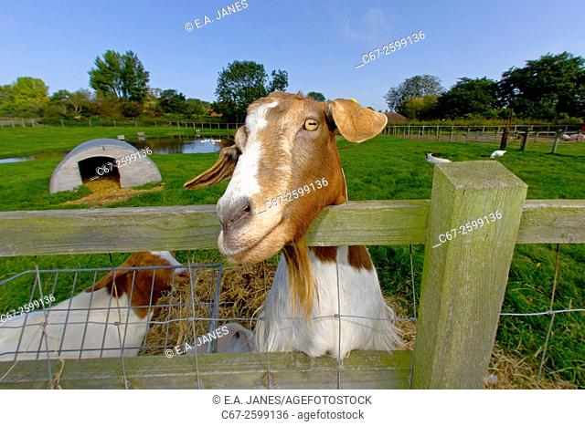 Boer Goat waiting for a Feed
