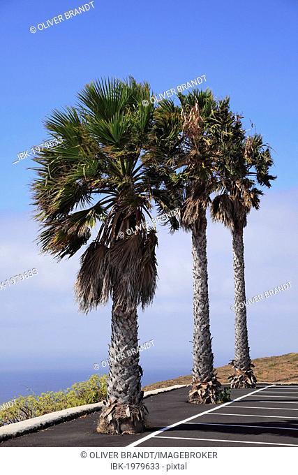 Three palm trees, Santo Domingo de Garafia, La Palma, La Isla Verde, La Isla Bonita, Canary Islands, Islas Canarias, Spain, Europe