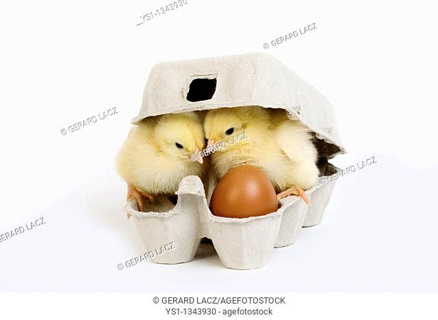 CHICKS AND EGG BOX