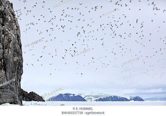 black-legged kittiwake (Rissa tridactyla, Larus tridactyla), many gulls on a bird rock and in flight in arctic landscape, Canada, Nunavut, Bylot-Island
