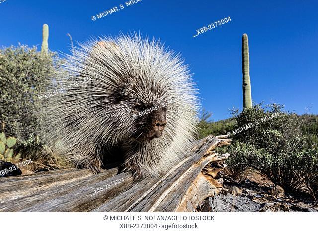Captive North American porcupine, Erethizon dorsatum, from the Arizona Sonora Desert Museum, Tucson, Arizona, United States of America