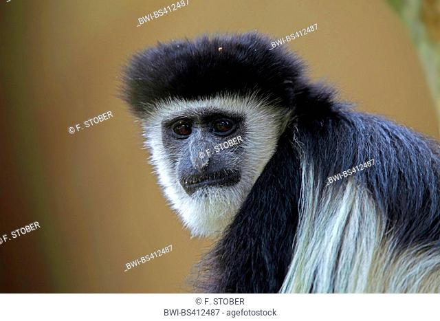guereza, guereza colobus, eastern black-and-white colobus, mantled colobus, mantled guereza (Colobus guereza, Colobus abyssinicus), portrait, Kenya