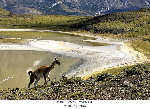 Guanaco - Torres Del Paine National Park, Patagonia Region, Chile