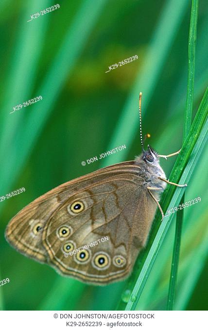 Northern eyed brown (Satyrodes eurydice), Killarney Provincial Park, Ontario, Canada