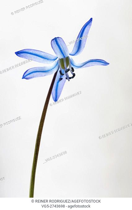 blue Scilla flower, isolated on white