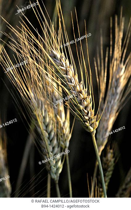 Wheat ears. Osseja, Pyrenees-Orientales, Languedoc-Roussillon, France