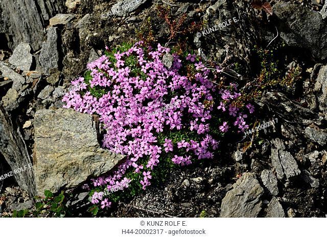 Cusion pink, Silene acaulis