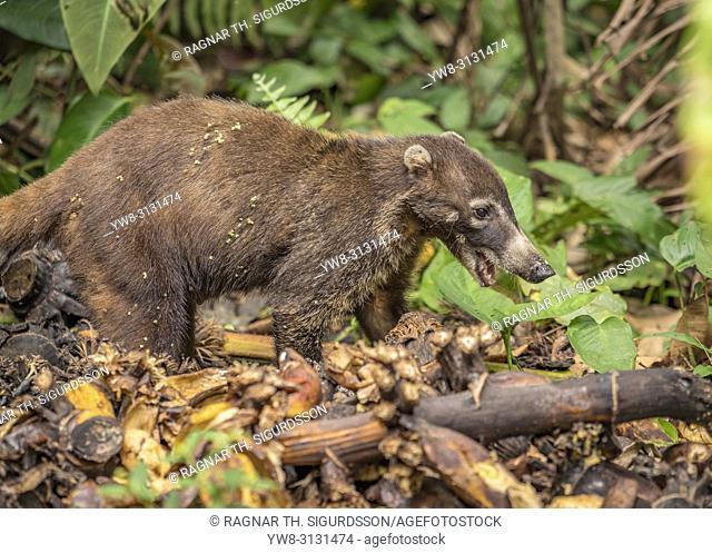 Whtie-Nosed Coati, Maquenque National Wildlife Refuge, Costa Rica