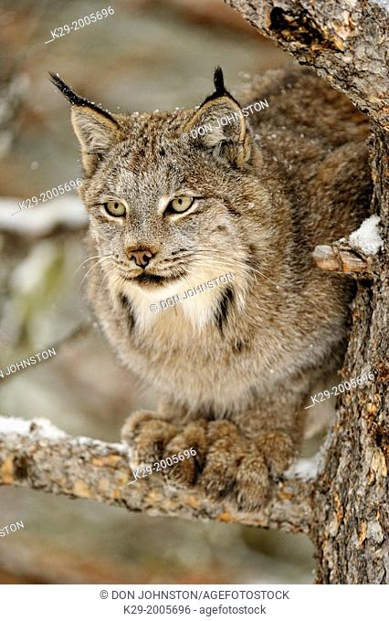 Canadian Lynx (Lynx canadensis) in late autumn mountain habitat, Bozeman, Montana, USA