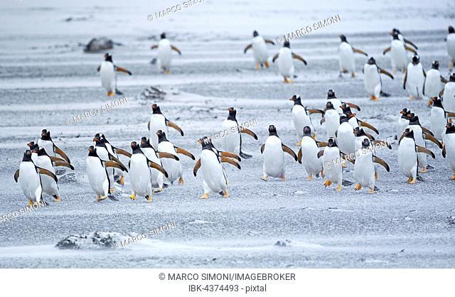 Gentoo Penguins (Pygoscelis papua papua), colony marching in line, Sea Lion Island, Falkland Islands, South Atlantik