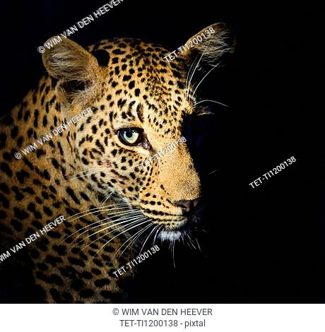 Close up of Leopard, Greater Kruger National Park, South Africa