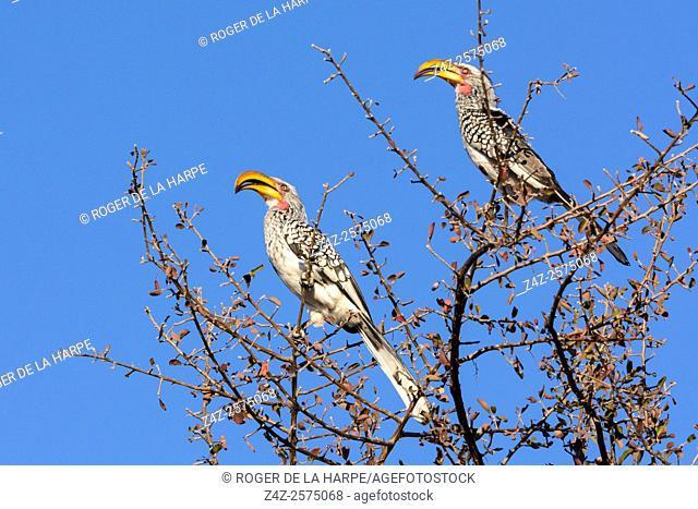 Southern yellow-billed hornbill (Tockus leucomelas). Haina Kalahari Lodge. Botswana