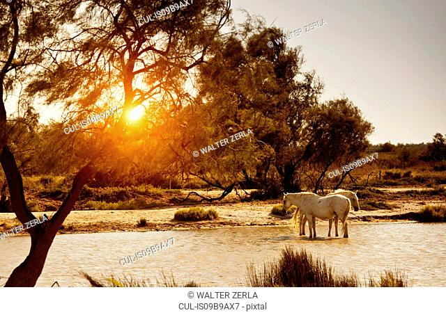 Horses standing in river, Camargue, France
