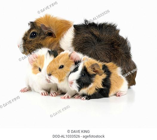 Mother and baby guinea pigs, Abyssinian guinea pigs