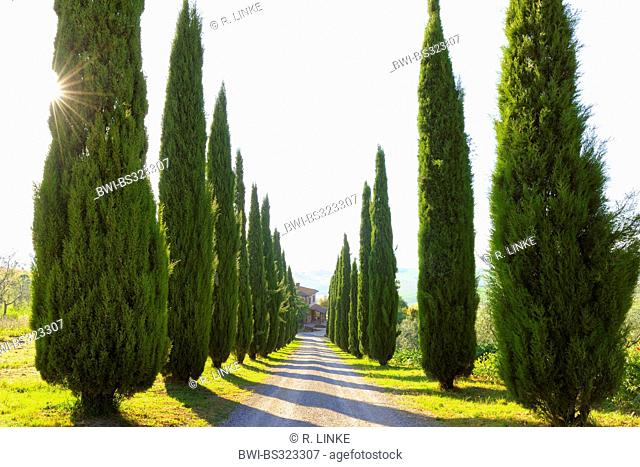 Italian cypress (Cupressus sempervirens), Cypress Lined Road, San Quirico d'Orcia, Italy, Tuscany, Siena