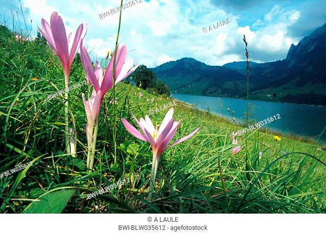 meadow saffron Colchicum autumnale, blooming group on the lake shore, Switzerland, Berner Alpen, Waegitalersee