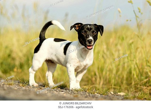 Jack Russell Terrier standing next to a path