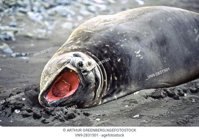 Yawning elephant seal, Hannah Point, Livingston Island, Antarctica