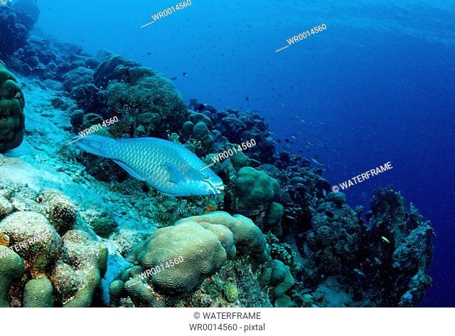 Queen Parrotfish at Coral Reef, Scarus vetula, Caribbean Sea, British Virgin Islands