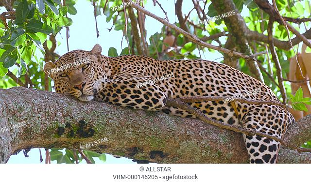 LEOPARD SAT IN SAUSAGE TREE; MAASAI MARA, KENYA, AFRICA; 31/01/2016