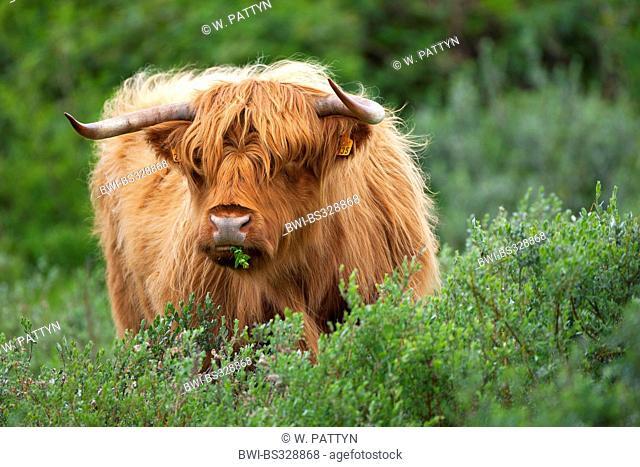 Scottish Highland Cattle (Bos primigenius f. taurus), feeding from a bush, Belgium, Gelderse Poort